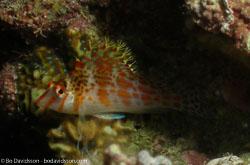 BD-060408-Moalboal--Cirrhitichthys-falco.-Randall.-1963-[Dwarf-hawkfish].jpg